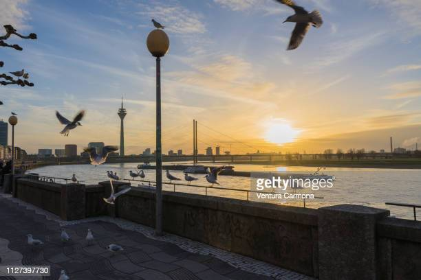 düsseldorf rhine panorama at sunset with flying seagulls - wasser imagens e fotografias de stock