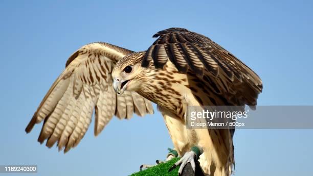 dubai - birds_of_prey stock pictures, royalty-free photos & images