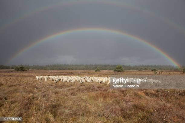Dubbele regenboog boven schaapskudde op de Veluwe