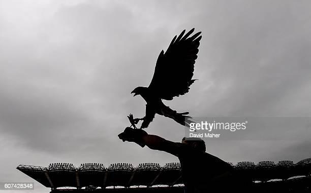 Dublin Ireland 18 September 2016 Barry Nolan of Wildlife Management with Alfie the hawk before the GAA Football AllIreland Senior Championship Final...