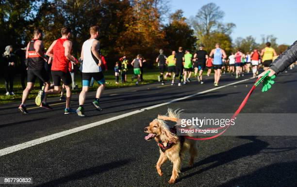 Dublin Ireland 29 October 2017 Jesse the Cockapoo aged 1 watches as runners make their way through Pheonix Park during the SSE Airtricity Dublin...
