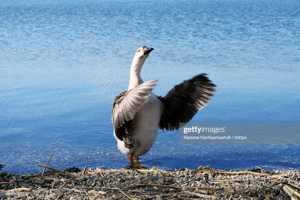 Duck against background of lake : Stock Photo