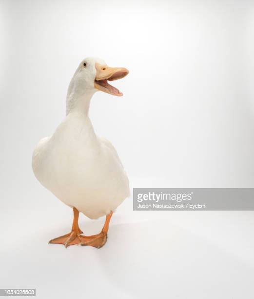 duck against white background - snavel stockfoto's en -beelden