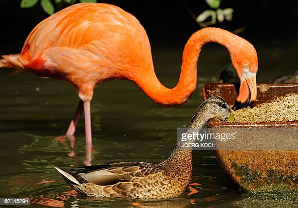 A duck and a flamingo eat out of the same feeding trough in the Hellabrunn animal park in the southern German city of Munich on August 1 2008 The...
