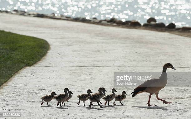 A duck and a group of ducklings cross the ninth hole during the third round of the Abu Dhabi HSBC Championship at Abu Dhabi Golf Club on January 21...