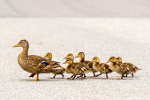 Duck And Ducklings On A Road