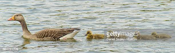 Duck And Ducklings Swimming In River