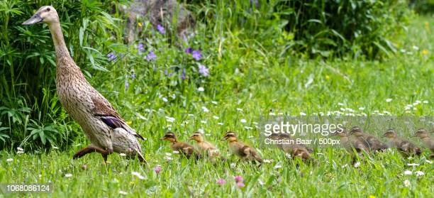 Duck and ducklings walking along the grass