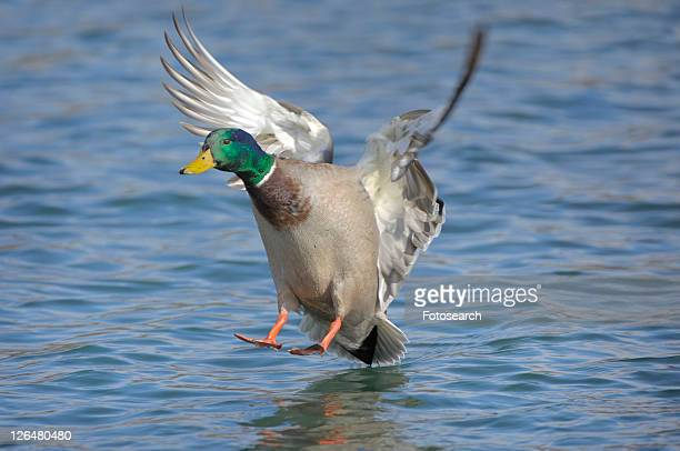 duck, animal, drake, bird, approach, enterich, anas - water bird stock pictures, royalty-free photos & images