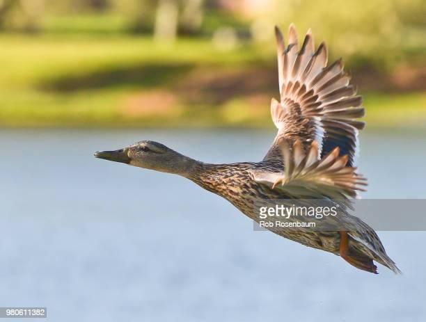 Duck Determination
