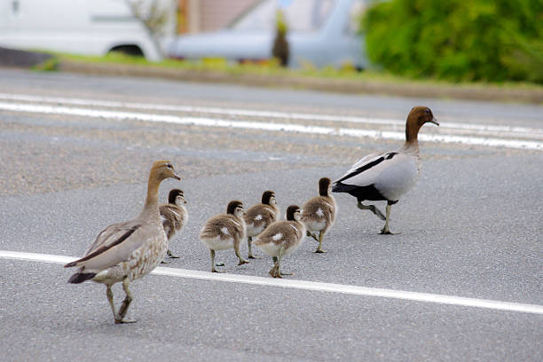 Duck Family Crossing The Road Wall Art