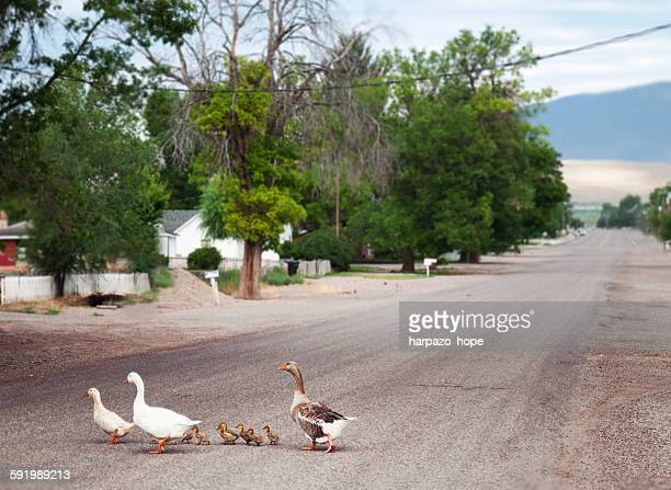 Duck family crossing the street