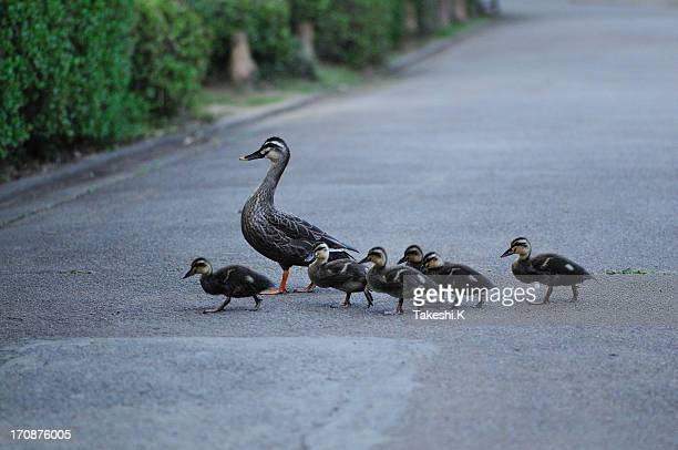 duck family go home - duckling stock pictures, royalty-free photos & images