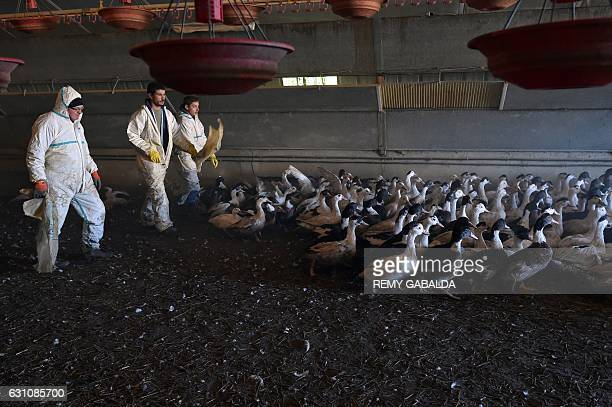 Duck farmer Sebastien Pujos and his employees drive birds out of an enclosure as they prepare to slaughter a portion of his 32000 ducks in...