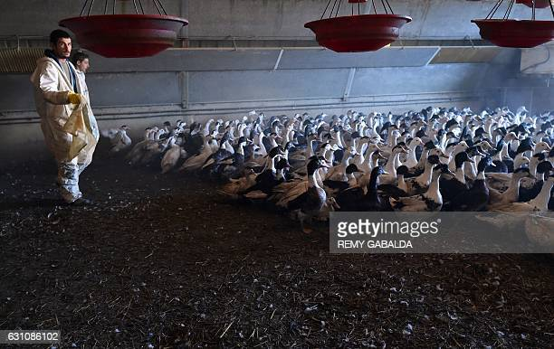 Duck farmers drive birds out of an enclosure as they prepare to slaughter a portion of the farm's 32,000 ducks, in Belloc-Saint-Clamens, southwestern...