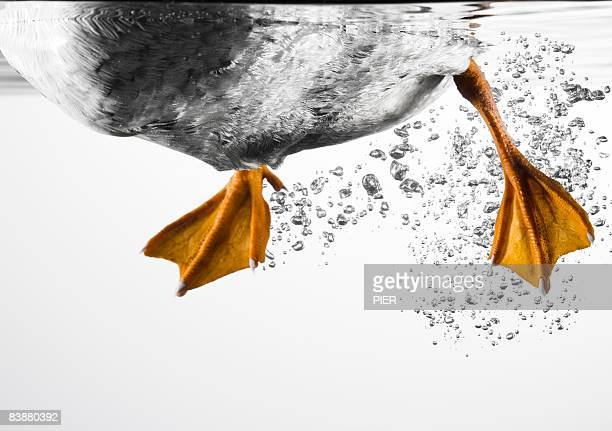 Duck feet swimming