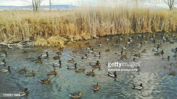 duck flocks feeding and swimming in rural pond western colorado outdoors - eyecrave  stock pictures, royalty-free photos & images