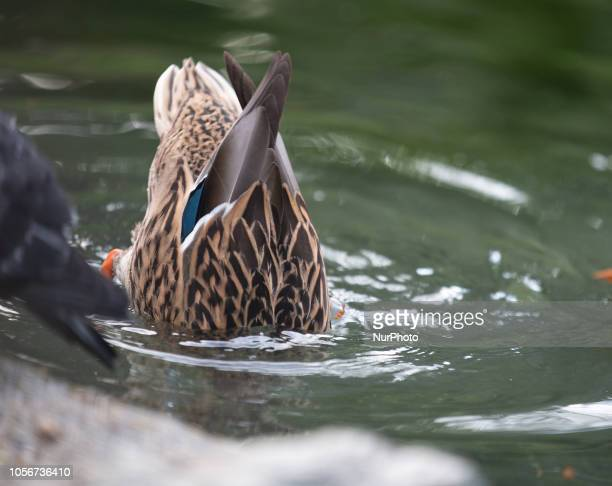 A duck going under water to eat something is seen in the capital of Piedmont in Northern Italy