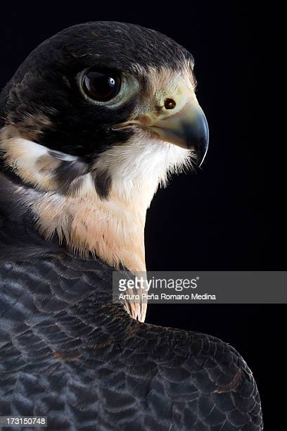 duck hawk - peregrine falcon stock photos and pictures