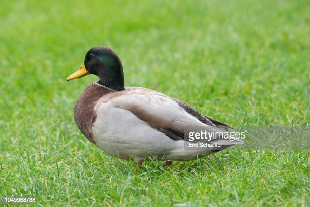 duck in green grass - canard photos et images de collection