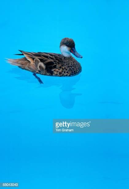 Duck in swimming pool on the Galapagos Islands Ecuador