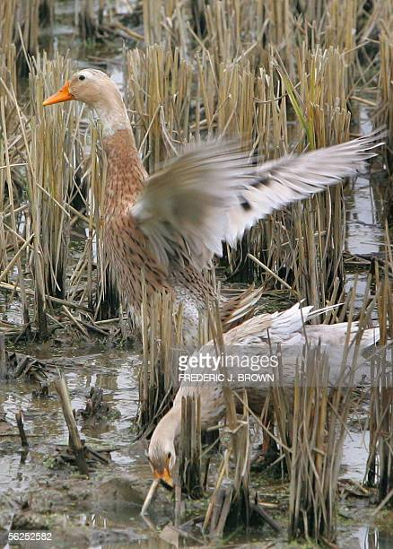 A duck is about to take off after feeding from a field of crops in Nanzhuang village 18 November 2005 on the outskirts of Anqing in central China's...