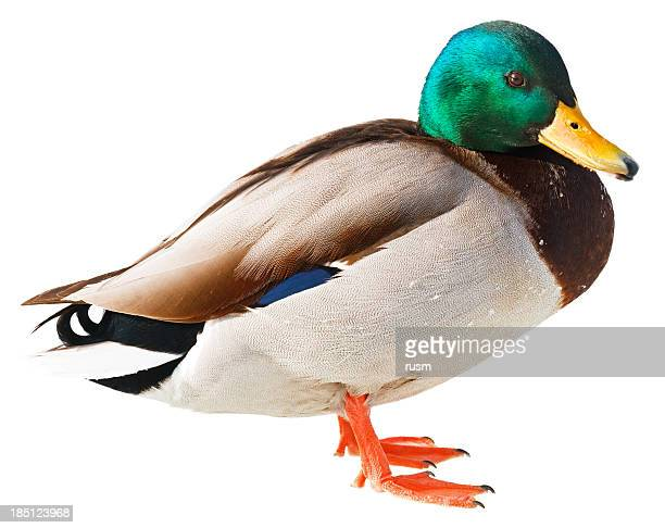 Duck isolated on white background