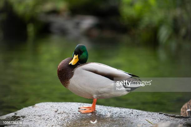 A duck looking to the camera is seen in the capital of Piedmont in Northern Italy