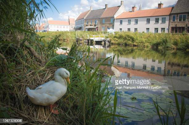 duck on a canal - damme stock pictures, royalty-free photos & images