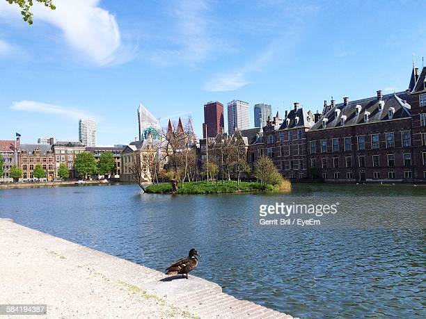 duck on riverbank by binnenhof - binnenhof stock photos and pictures