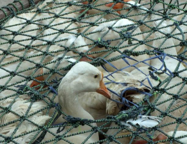 Duck on sale by a street bazaar