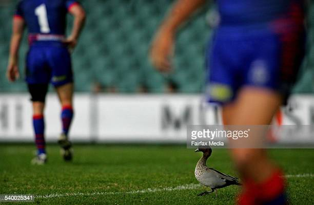 A duck on the field during the NRL Round 18 match between the Newcastle Knights and Parramatta Eels at Parramatta Stadium 8 July 2006 NCH Picture by...