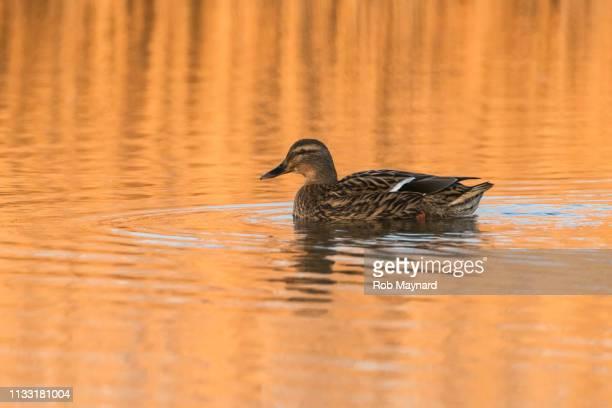 Duck on the orange pool