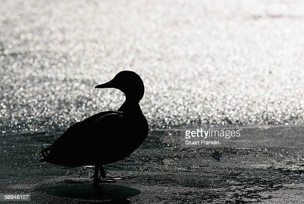 A duck on the pond at the Alter Kur Park where a dead duck suspected of having bird flu was found on February 24 2006 in Tmmendorfer Strand near...