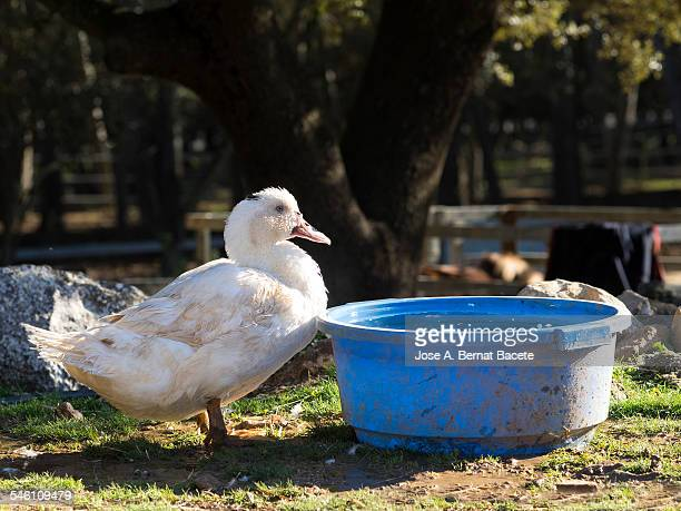 Duck opposite to a tub of plastic with water