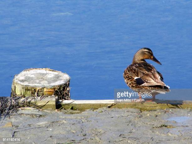 duck perching by lake - koper stock photos and pictures