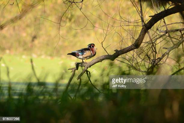 duck perching on branch, wisconsin, usa - iron_county,_wisconsin stock pictures, royalty-free photos & images