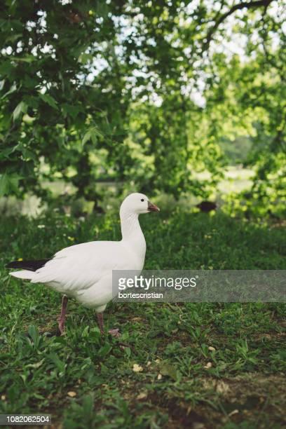 duck perching on field - bortes bildbanksfoton och bilder