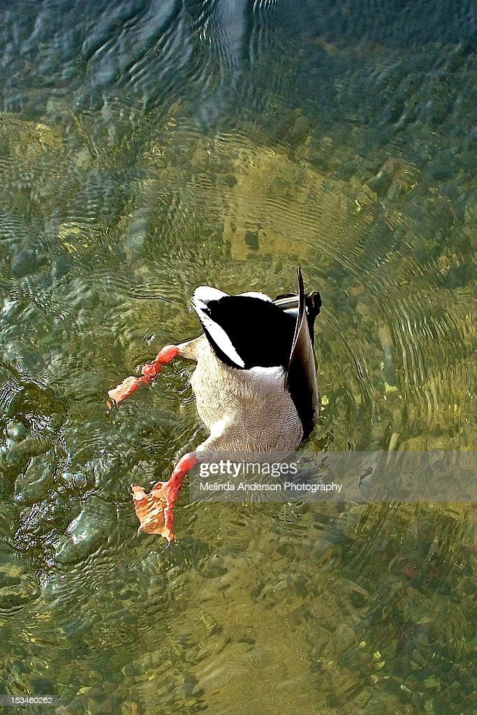 Duck : Stock Photo