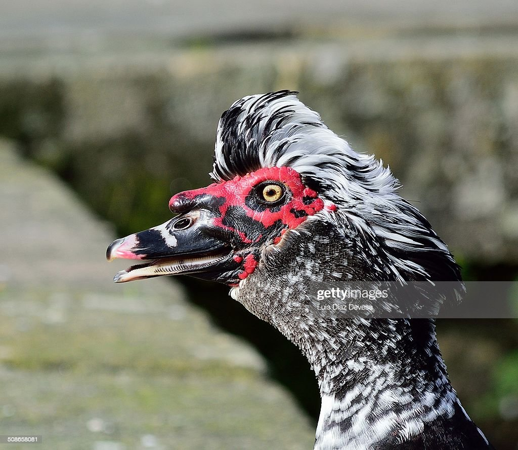 Duck : Stock Photo