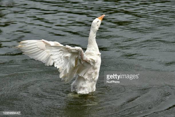 Duck playing at Jurpukhuri pond in Guwahati Assam India on Wednesday September 19 2018