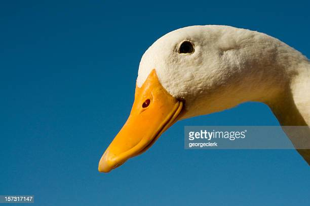 duck profile close up - duck bird stock photos and pictures