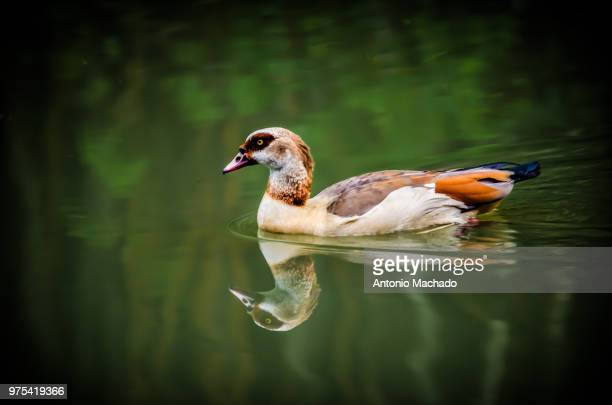 Duck reflecting in pond, Areiao Park, Goiania, Brazil