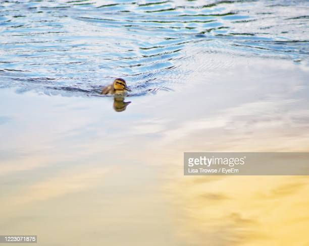 duck swimming in a lake - esher stock pictures, royalty-free photos & images