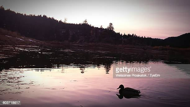 duck swimming in lake by trees against sky - big bear lake stock photos and pictures