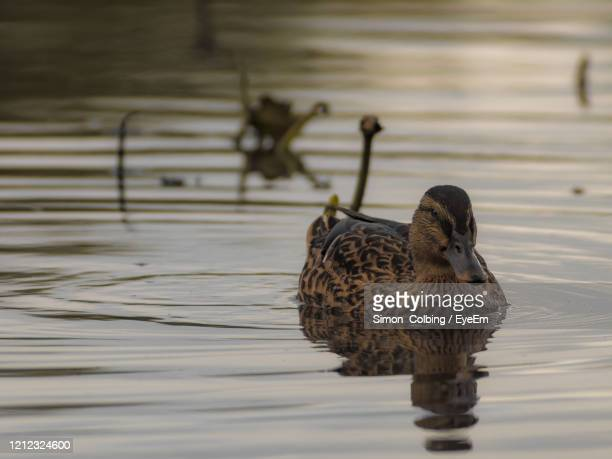 duck swimming in lake - colbing stock pictures, royalty-free photos & images