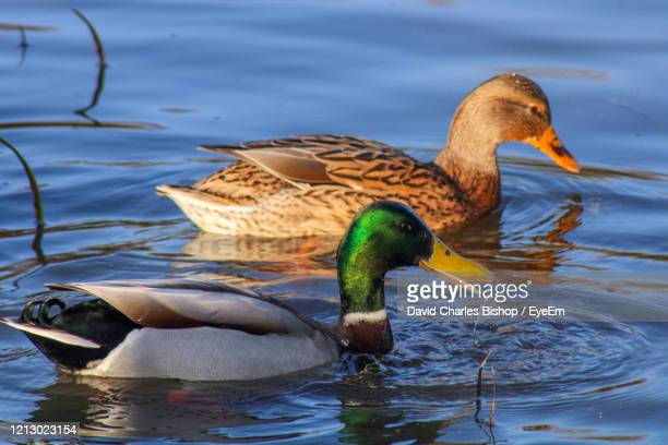 duck swimming in lake - mallard duck stock pictures, royalty-free photos & images