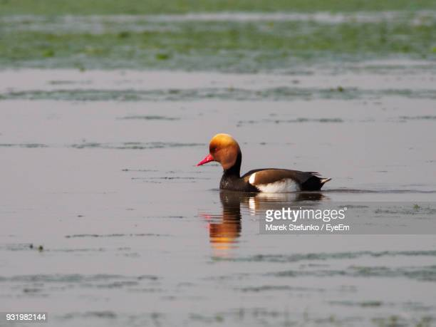 duck swimming in lake - marek stefunko stockfoto's en -beelden
