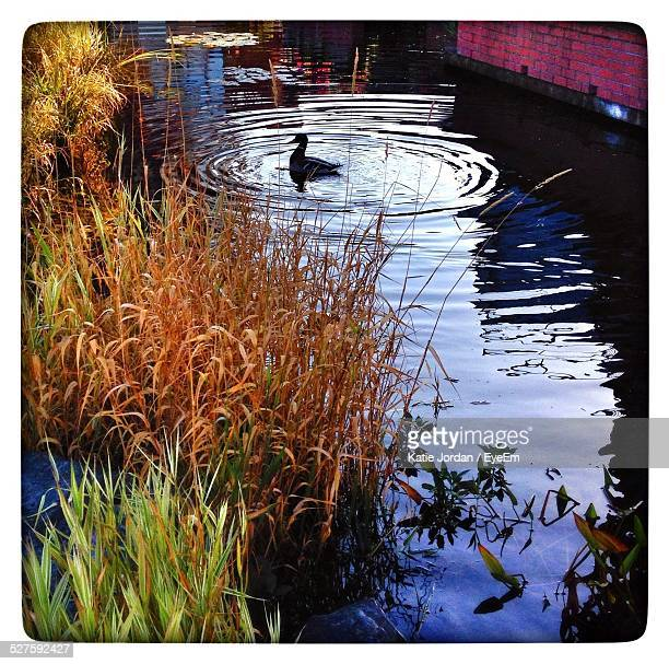 duck swimming in river - lily jordan stock pictures, royalty-free photos & images