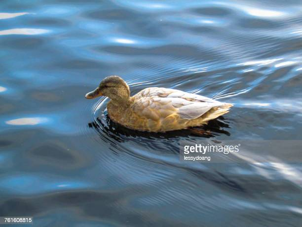 duck swimming on a lake, jakarta, indonesia - duck bird stock pictures, royalty-free photos & images